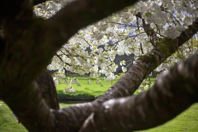 Cherry Tree - Blarney, Ireland