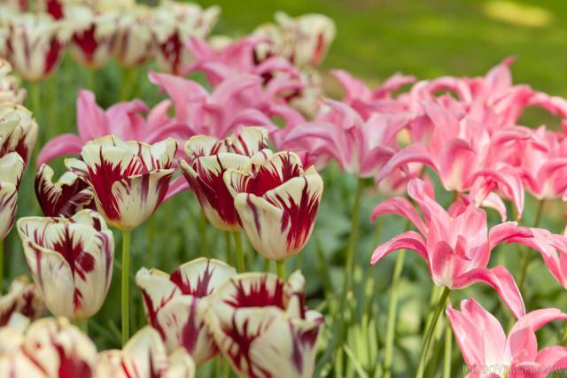 Tulipanes bicolor rojo-blanco y tulipanes rosas - Lisse, Países Bajos