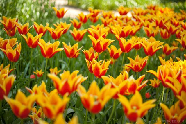Tulipanes bicolor rojo-amarillo - Lisse, Países Bajos