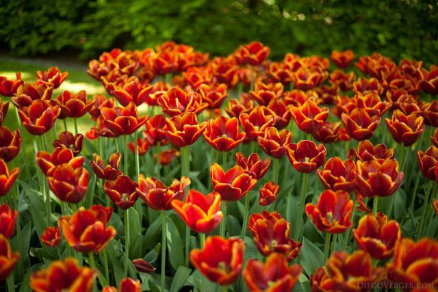 Tulipanes rojo-anaranjados con borde amarillo - Lisse, Países Bajos