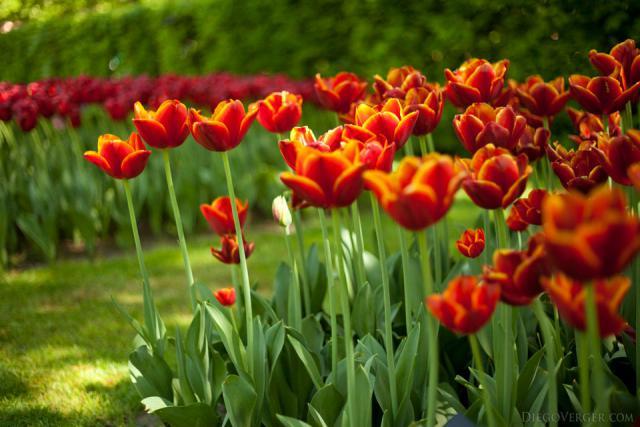Tulipanes rojos con borde dorado - Lisse, Países Bajos