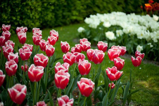 Tulipa Leen van der Mark - Lisse, Países Bajos