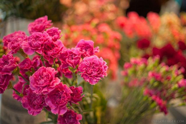 Œillets rose foncé au pavillon Oranje Nassau - Lisse, Pays-Bas