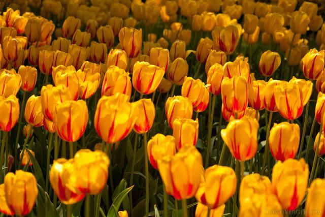 Tulipanes amarillos con trazos rojos tipo tulipán Rembrandt - Lisse, Países Bajos