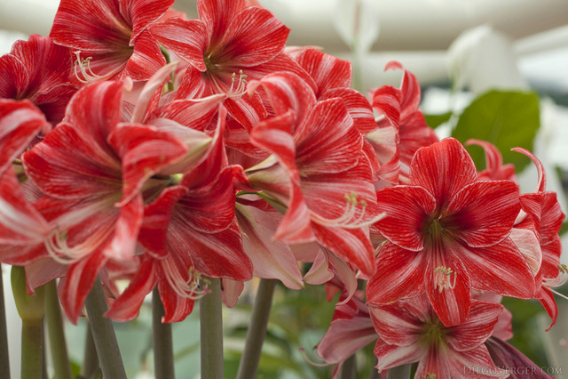 Amaryllis bicolore ou Hippeastrum - Lisse, Pays-Bas