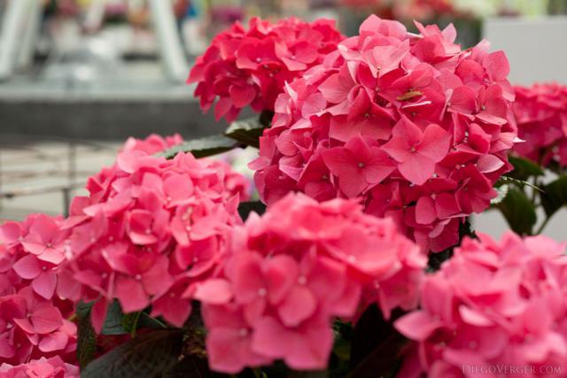 Dark pink hydrangeas - Lisse, Netherlands