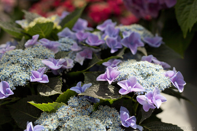 Lilac Hydrangeas flowers and buds - Lisse, Netherlands