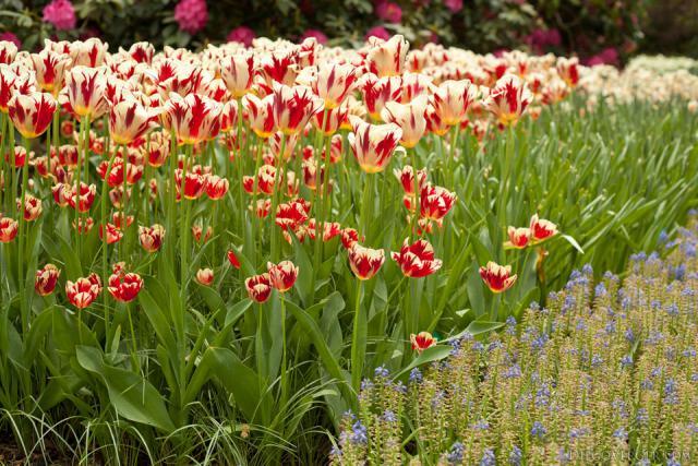 Tulipanes bicolor blancos y rojos junto a Muscari armeniacum - Lisse, Países Bajos