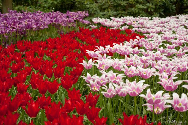 Tulipanes rojos y tulipanes flor de lirio bicolor - Lisse, Países Bajos