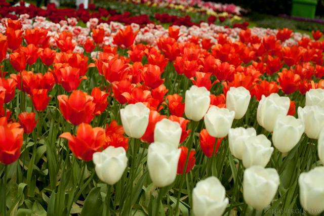 Tulipanes naranjas y blancos - Lisse, Países Bajos