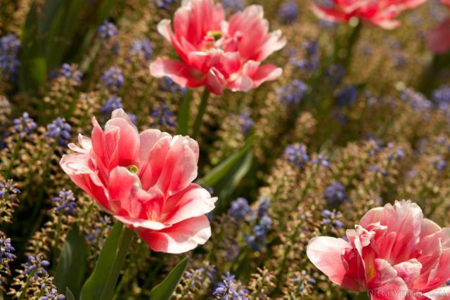 Tulipán Temprano Doble Foxtrot - Lisse, Países Bajos