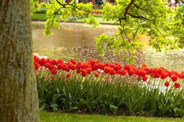 Macizo de tulipanes bicolor junto al lago del parque - Lisse, Países Bajos