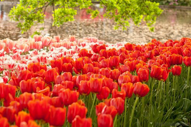 Tulipanes bicolor junto al lago de Keukenhof - Lisse, Países Bajos