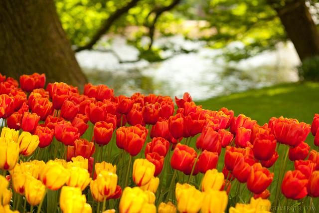 Tulipanes naranjas y amarillos junto a un canal en Keukenhof - Lisse, Países Bajos