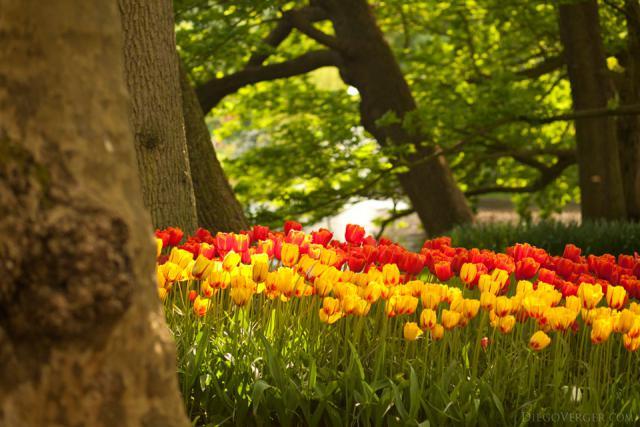 Tulipanes bicolores y árboles a orillas del lago de Keukenhof - Lisse, Países Bajos