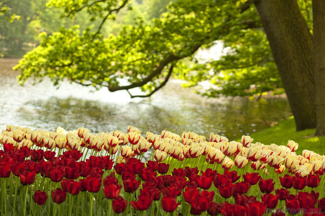 Tulipanes rojos y bicolor junto al lago de Keukenhof - Lisse, Países Bajos