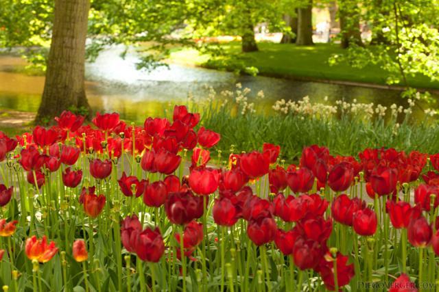 Tulipanes rojos junto al lago de Keukenhof - Lisse, Países Bajos