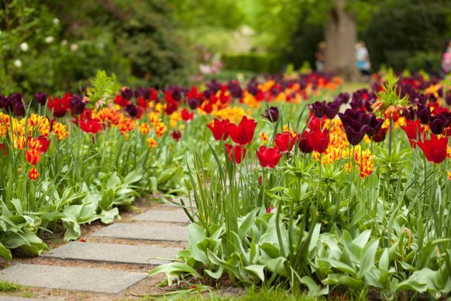 Un sendero de Keukenhof entre tulipanes rojos, morados y bicolor - Lisse, Países Bajos