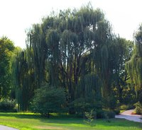 Weeping Willow - Lisle, United States