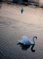 Swans on Lake Geneva - Geneva, Switzerland