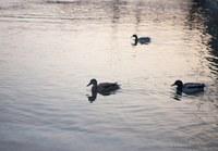 Ducks on Lake Geneva - Geneva, Switzerland