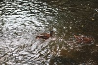 Ducks swimming in DuPage River - Naperville, United States