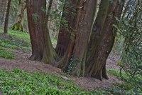 Inosculated Trees, photo 2 - Blarney, Ireland