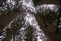 Inosculated Trees - Blarney, Ireland