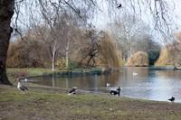 Birds in St James's Park - London, England
