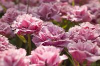 Tulipanes rosados dobles con flecos - Lisse, Países Bajos