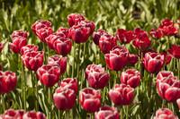 Tulipanes simples rosados oscuros - Lisse, Países Bajos