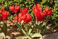 Tulipa greigii de Asia Central - Lisse, Países Bajos