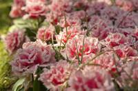 Tulipanes dobles rosados con flecos blancos - Lisse, Países Bajos