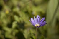 Fotografía macro de pequeña margarita violeta - Lisse, Países Bajos