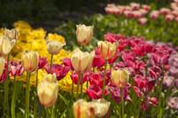 Tulipanes con flecos - Lisse, Países Bajos
