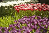 Tulipanes púrpuras, blancos y bicolor rojo-blanco - Lisse, Países Bajos