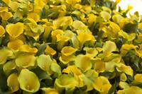 Zantedeschia elliottiana o flores cala Capitán Solo - Lisse, Países Bajos