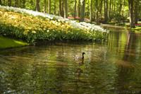 Pato mallard nadando en un estanque de Keukenhof - Lisse, Países Bajos