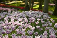 Tulipanes flor de lirio lilas y blancos - Lisse, Países Bajos