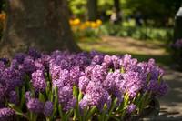 Jacintos púrpuras en los jardines de Keukenhof - Lisse, Países Bajos
