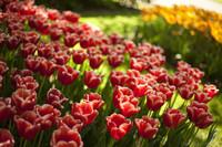 Tulipanes bicolor rojos y blancos - Lisse, Países Bajos