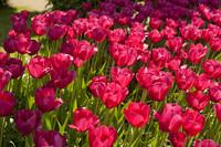 Tulipanes rosa oscuro - Lisse, Países Bajos