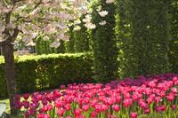 Un cerezo florecido y tulipanes rosados - Lisse, Países Bajos
