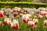 Tulipanes bicolor blancos y rojos - Lisse, Países Bajos