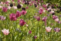Campo de tulipanes rosados, púrpuras y negros - Lisse, Países Bajos