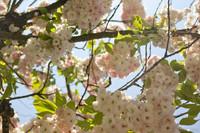 Flores de cerezo en el área del pabellón Oranje Nassau - Lisse, Países Bajos