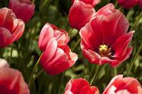 Tulipanes rosados y detalle del interior de un tulipán - Lisse, Países Bajos