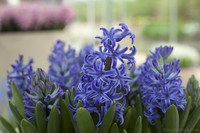 Hyacinths of the interior flowers exhibition - Lisse, Netherlands