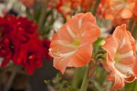Amaryllis bicolore - Lisse, Pays-Bas