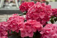 Hortensias rose foncé - Lisse, Pays-Bas